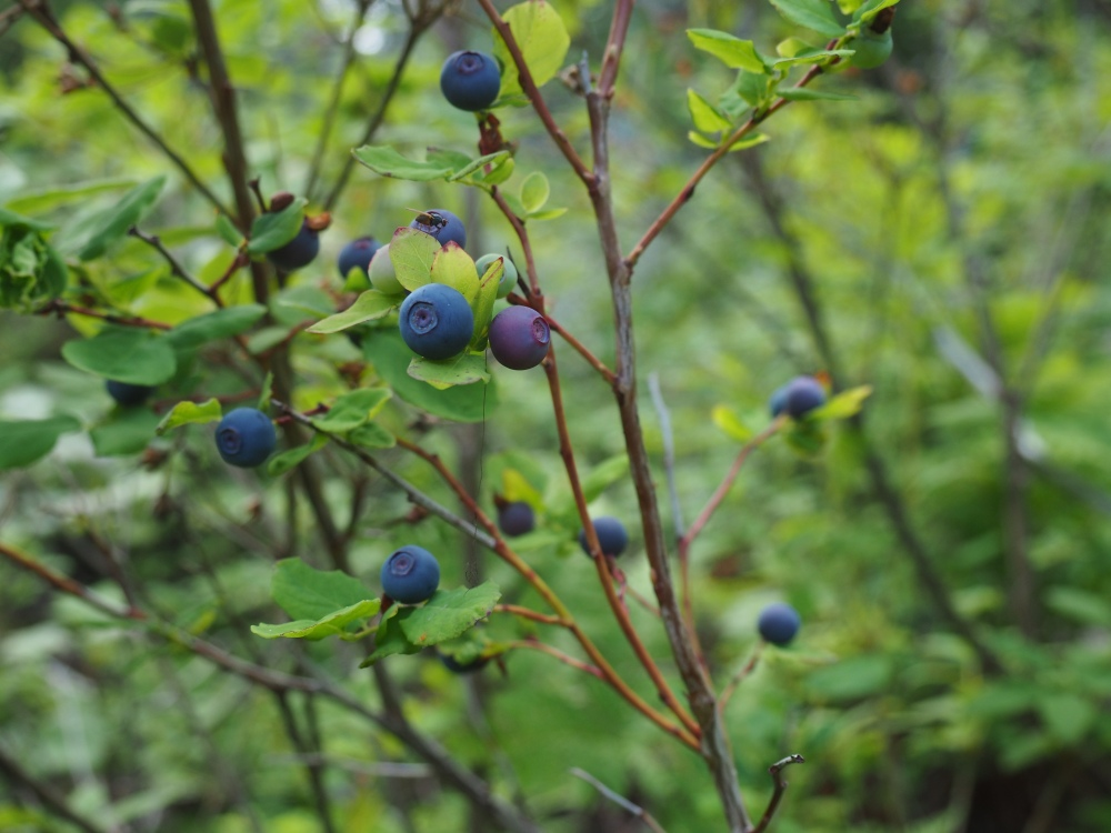 Blure Berries
